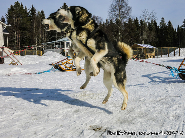 Northern light tour by dogsled in Swedish Lapland. Dog Sledding Sweden