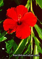 Fresh hibiscus ... on your bed ... (#23 of 26) - Huelo Point Lookout...a romantic B&B retreat