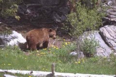 Brown Bear -  Accommodations Jasper