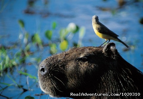 Capivara - brol - Travel to Brazil with Experts