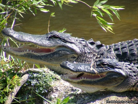 Alligators - Everglades Hostel & Tours