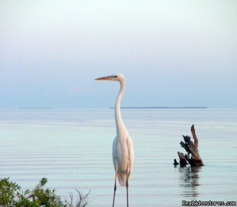 great white heron - See the Everglades with a Guide