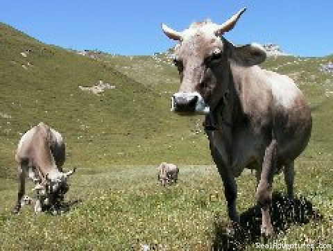 Typical brown Swiss cows