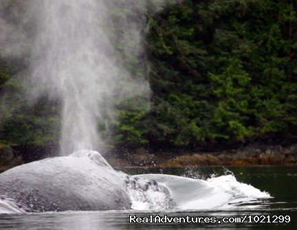 Humpback whale off of Northern Vancouver Island | Image #18/25 | Sea Kayak Vacations & Whale Adventures in Baja/BC