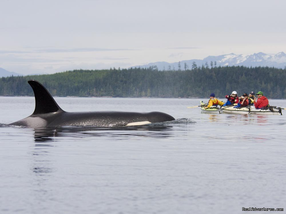 Kayaking with Orcas - BC Johnstone Strait | Image #14/25 | Sea Kayak Vacations & Whale Adventures in Baja/BC
