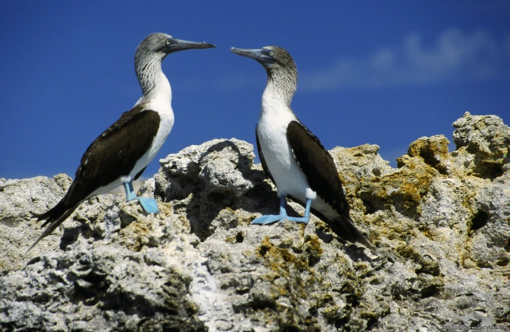 Blue-footed Boobies | Image #13/25 | Sea Kayak Vacations & Whale Adventures in Baja/BC