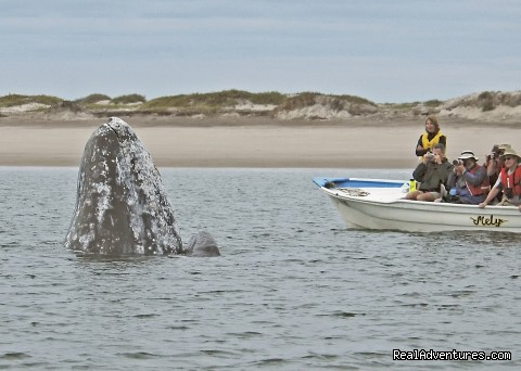 Gray Whale Mom and Baby Watching Humans - Sea Kayak Vacations & Whale Adventures in Baja/BC