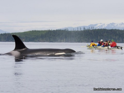 Kayaking with Orcas - BC Johnstone Strait - Sea Kayak Vacations & Whale Adventures in Baja/BC