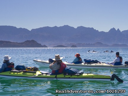 Dolphins swim by our kayaks - Sea Kayak Vacations & Whale Adventures in Baja/BC