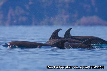 Bottlenose Dolphins in the Sea of Cortez - Sea Kayak Vacations & Whale Adventures in Baja/BC