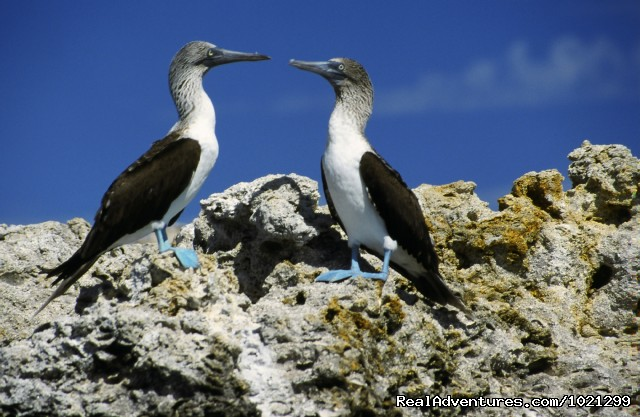 Blue-footed Boobies - Sea Kayak Vacations & Whale Adventures in Baja/BC