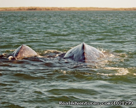 Gray whale calf and mother (#11 of 26) - Sea Kayak Vacations & Whale Adventures in Baja/BC