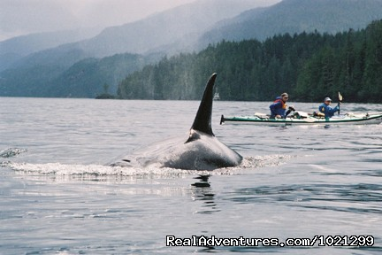 Kayak with orcas in BC. - Sea Kayak Vacations & Whale Adventures in Baja/BC