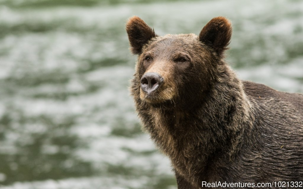 All-Inclusive fly in wilderness safaris for Grizzly Bear, Black Bear, Orca, Humpback and more.  Offering a small (10 guests max) intimate lodge in the remote Knight Inlet British Columbia Canada.  A trip you will never forget.