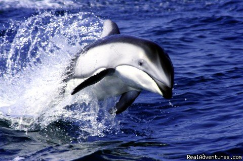 White-Sided Dolphin | Image #7/15 | Grizzly Bear & Whale Tours
