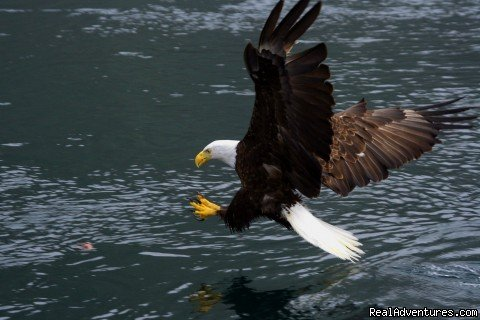 Bald Eagle | Image #11/15 | Grizzly Bear & Whale Tours