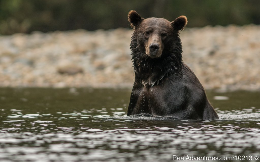 Grizzly Bear Looking for Salmon | Image #6/15 | Grizzly Bear & Whale Tours