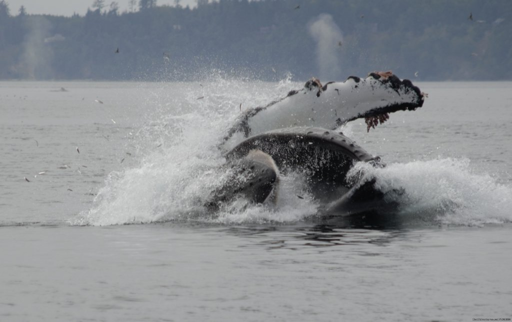 Humpback | Image #15/15 | Grizzly Bear & Whale Tours