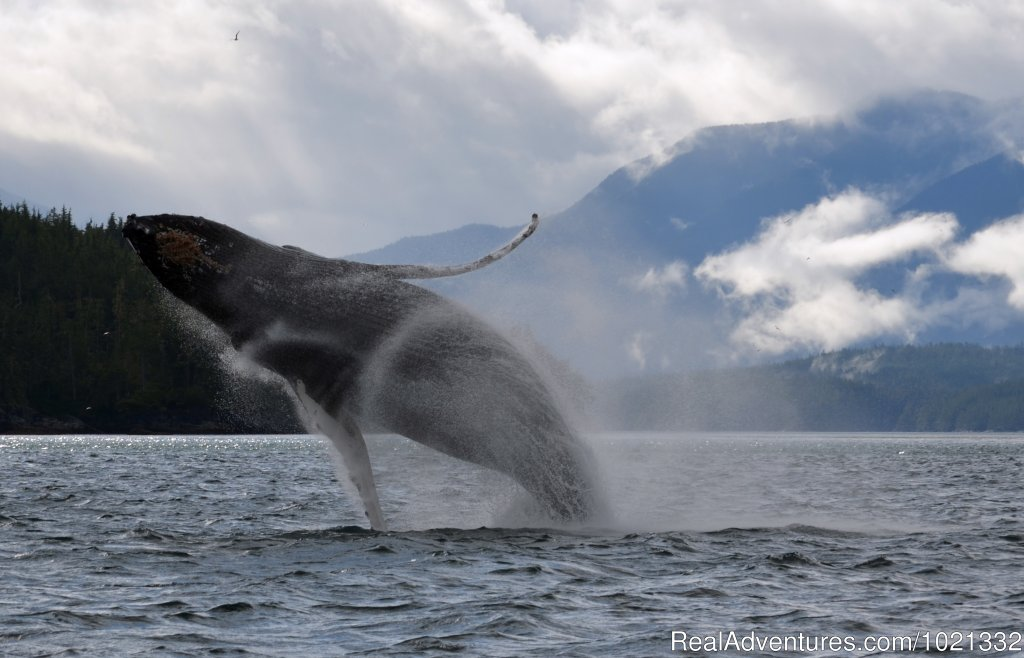 Humpback Breech | Image #5/15 | Grizzly Bear & Whale Tours
