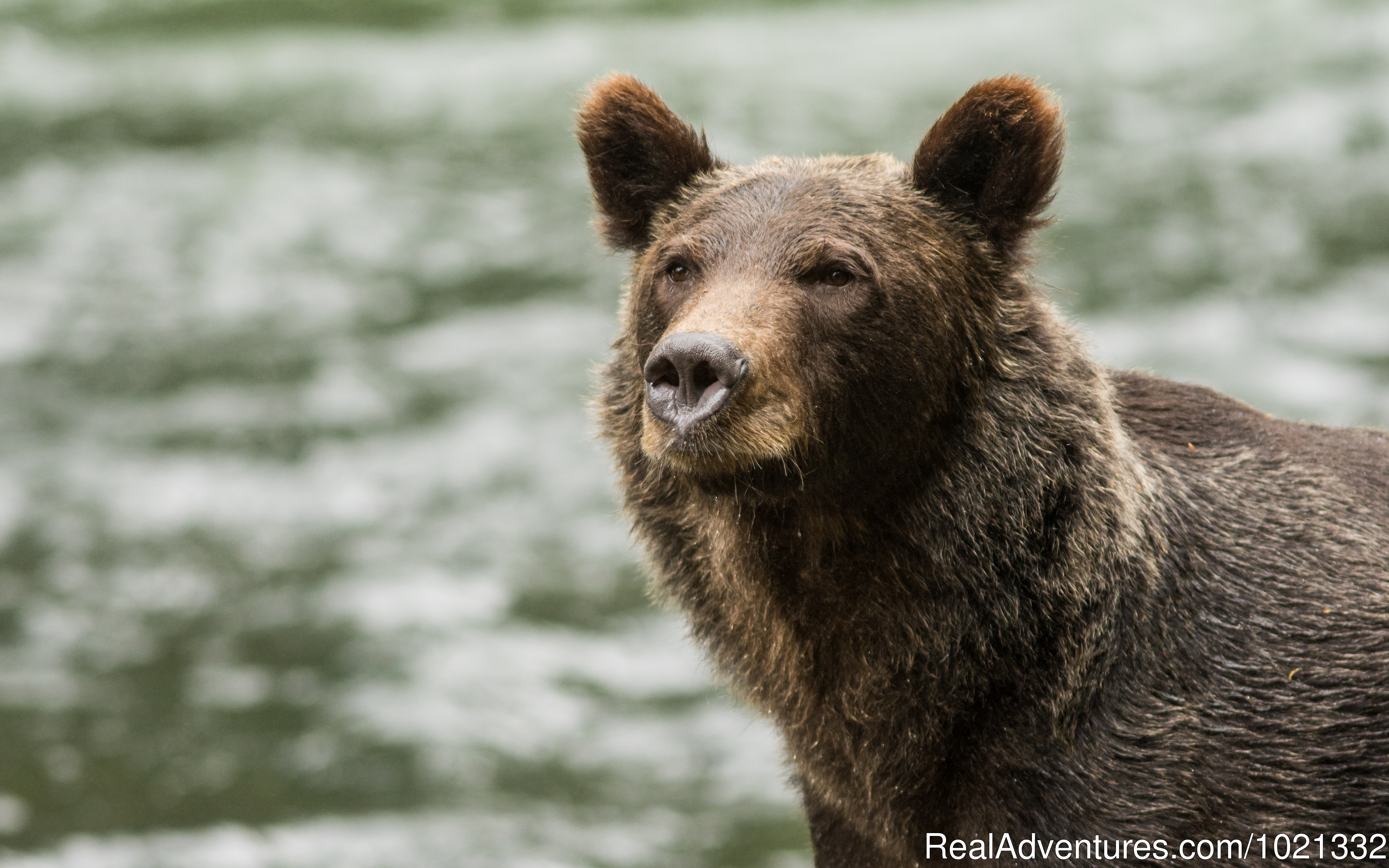 Grizzly Bear on the River