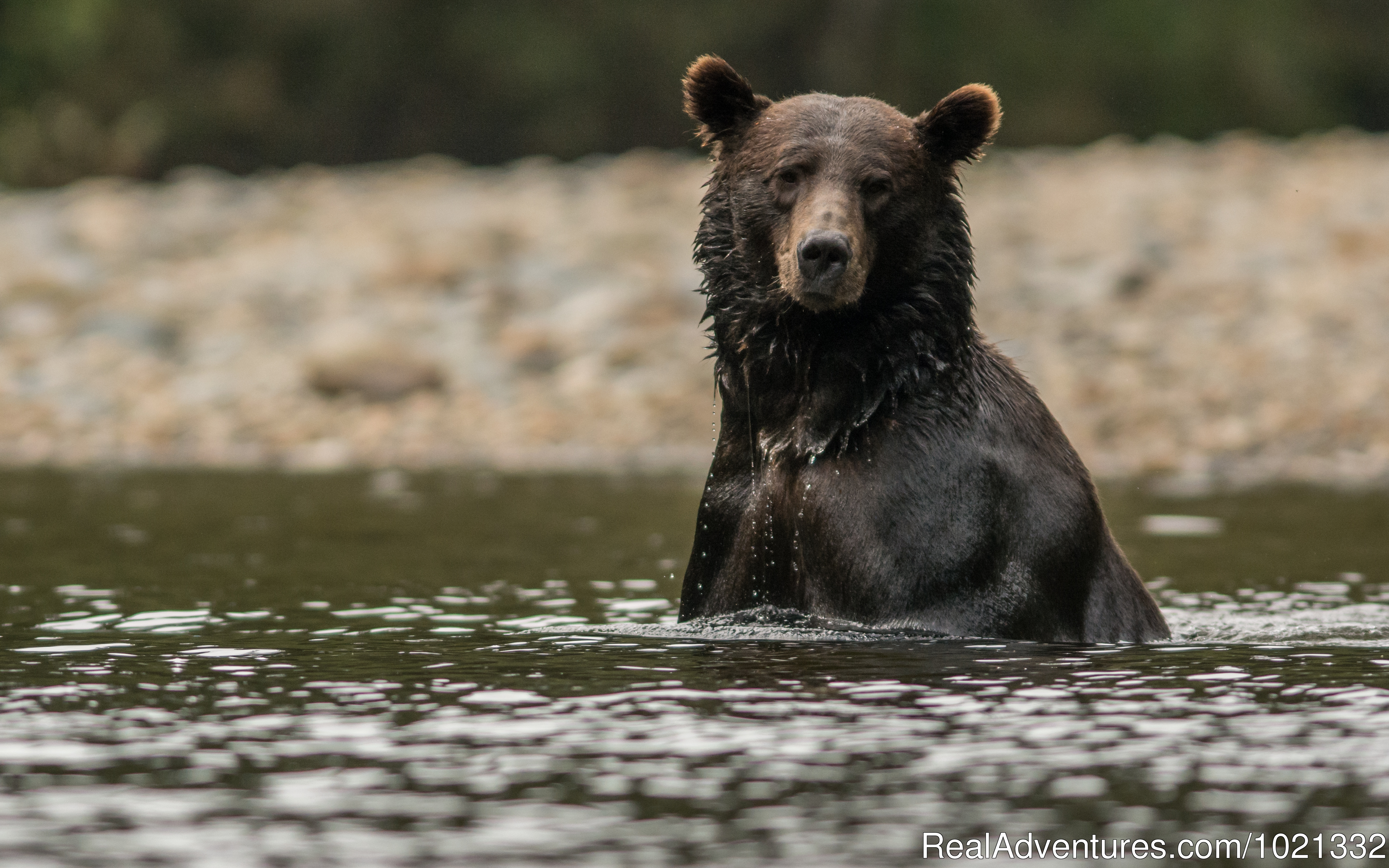Grizzly Bear Looking for Salmon