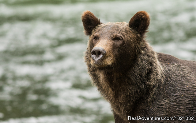 Grizzly Bear & Whale Tours Wildlife & Safari Tours Campbell River, British Columbia