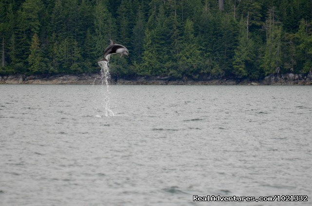 Dolphin Play - A Sailcone Grizzly & Orca Safari in Knight Inlet