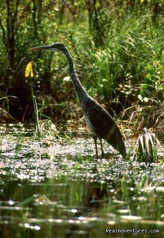 Blue Heron in BWCAW - Wilderness canoe trips with Voyageur North Ely MN