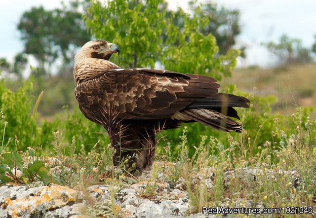 Imperial eagle - Pandion Wild Tours / Wildlife tours in Bulgaria