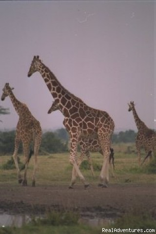 Giraffes Running - African Horizons - Safaris and Tours
