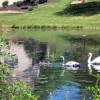 The Swans Gliding on the Pond