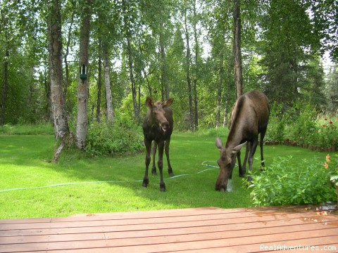 Casperhouse B&b: Visiting moose by the deck