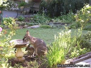 Wallaby & Joey in the garden (#3 of 10) - Kemeys Mountain Hideaway