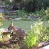 Wallaby & Joey in the garden