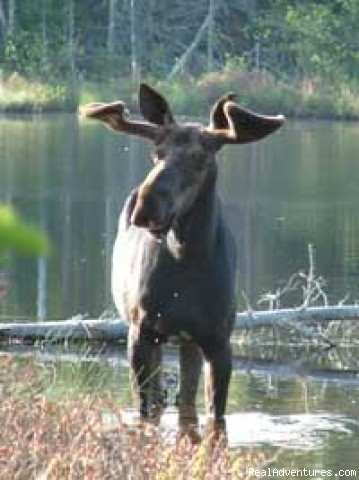 Moose in the northwoods - Gunflint Lodge-family vacations in northeast MN