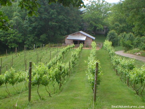 Vineyard on the resort grounds