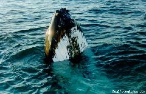 Western Australian Whale Watch: Skyhopping Humpback