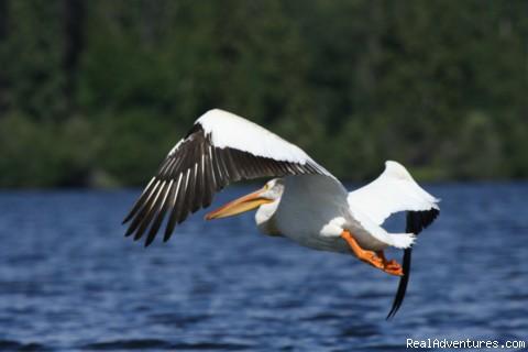 Pelicans visit in the summer - Finger Lake Wilderness Resort-GETAWAY,Relax&Unwind
