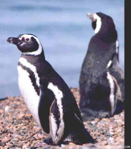 Magellanic Penguins - Patagonia Travel Adventures
