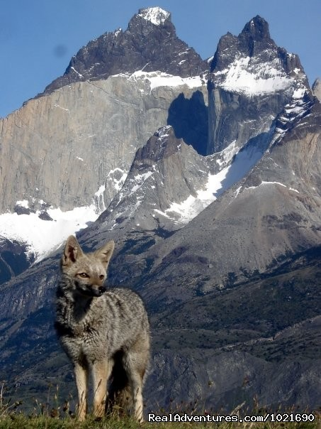 Gray fox , Torres del Paine Nat. Park - Patagonia Travel Adventures