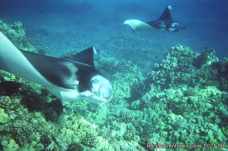 Manta Rays Over Coral | Image #6/17 | Awakening In Paradise Retreats