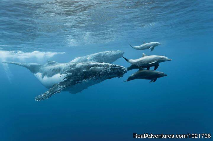 Dolphins Escorting the Whales | Image #9/17 | Awakening In Paradise Retreats
