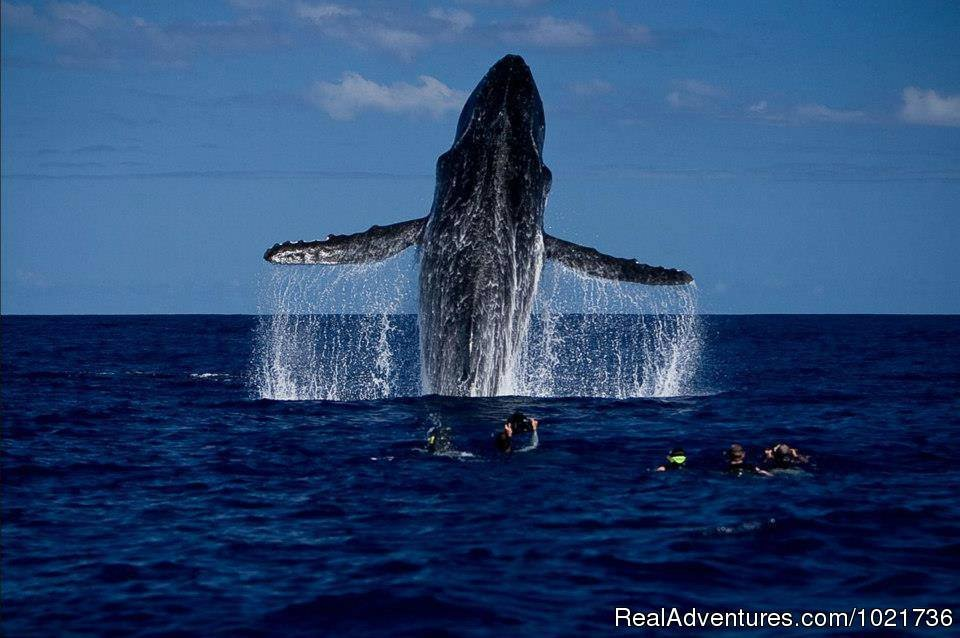 Humpback Whale Breach | Image #10/17 | Awakening In Paradise Retreats