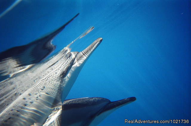 Sleepy dolphins come close to share their healing energy. - Awakening In Paradise Retreats