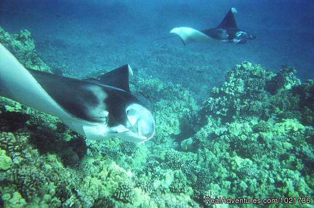 Manta Rays Over Coral - Awakening In Paradise Retreats