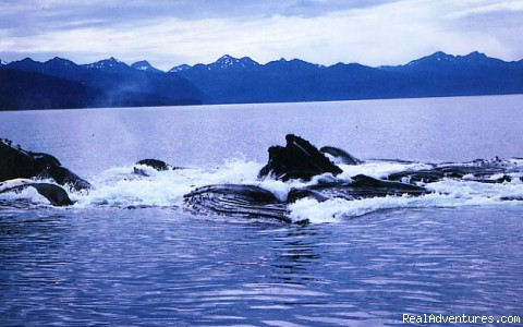 Group Cooperative Feeding Humpbacks - Alaska Yacht Charters aboard Discovery