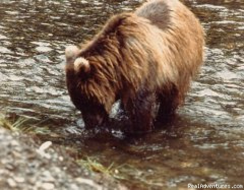 Brown Bear (#4 of 11) - Alaska Yacht Charters aboard Discovery