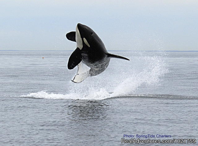 Orca Breach - Small Group Rockies & Vancouver Island Vacations