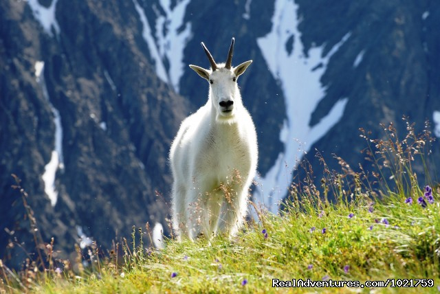 Mountain Goat - Rockies - Small Group Rockies & Vancouver Island Vacations