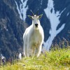 Mountain Goat - Rockies